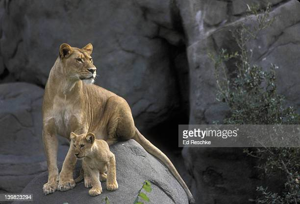 LIONS, PANTHERA LEO. MOTHER AND CUB ON ROCK. HOUSTON ZOO. TEXAS.