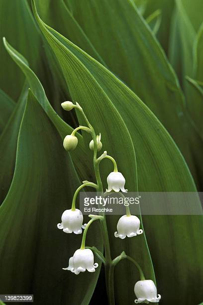 LILY-OF-THE-VALLEY, CONVALLARIA MAJALIS, MICHIGAN. LILY FAMILY OLD WORLD DOMESTIC STEMS AND LEAVES YIELD COLORFAST VEGETABLE DYE.