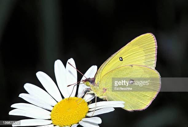 pink-edged sulphur, colias spp, on flower, michigan, usa - ed reschke photography stock photos and pictures
