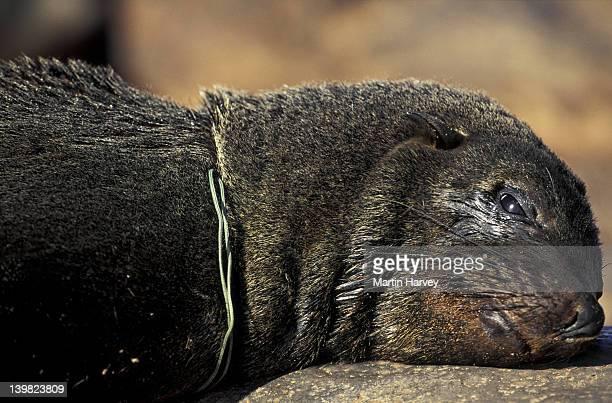 CAPE FUR SEAL WITH PLASTIC AROUND NECK. ARCTOCEPHALUS PUSILLUS. SOUTH AFRICA.