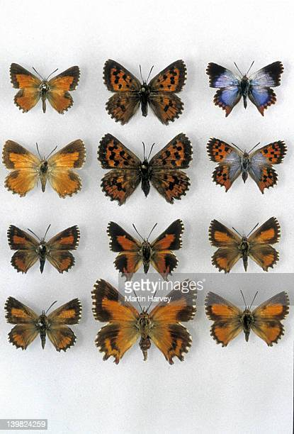 COLLECTION OF RARE AND ENDANGERED FYNBOS ENDEMIC BUTTERFLIES, SOUTH AFRICA