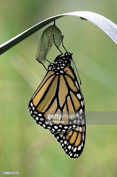 newly emerged monarch butterfly, danaus plexippus, clinging to chrysalis case. michigan. (si) sim to 221411 - milkweed stock pictures, royalty-free photos & images