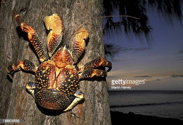 rare coconut aka robber crab, birgus latro, climbing up tree. largest land crustacean, considered a hermit crab. h distributed from west indian to west pacific oceans. - coconut crab stock pictures, royalty-free photos & images