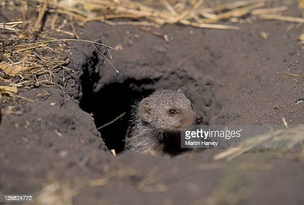 banded mongoose peeking out of burrow. mungos mungo. africa. - mangusta foto e immagini stock