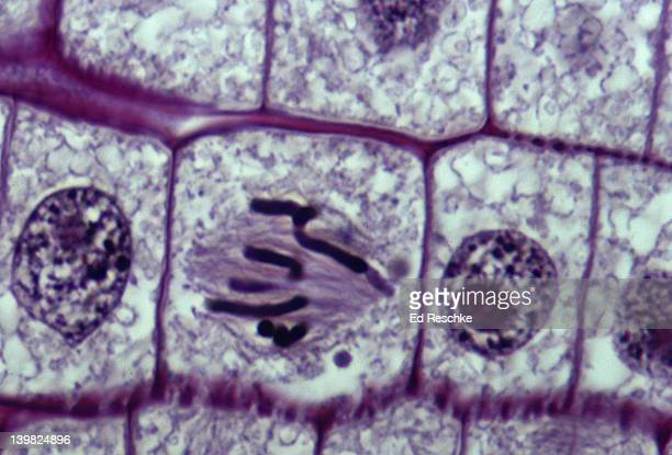 metaphase chromosomes. onion (allium) root, metaphase, mitosis. chromosomes lined along equator hematoxylin and feulgen stm. 5000x - atomic imagery stock pictures, royalty-free photos & images