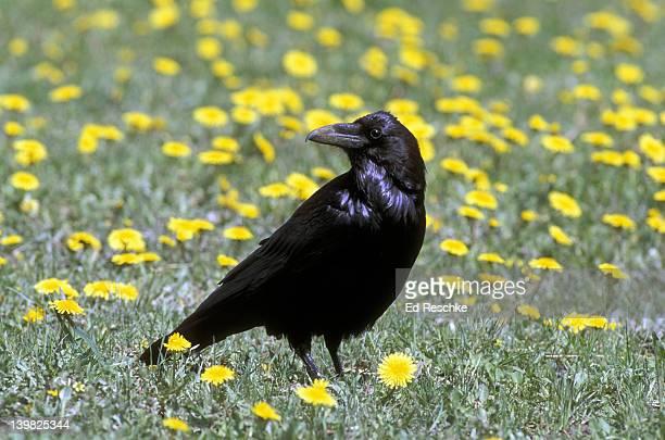 COMMON RAVEN, CORVUS CORAX, LARGE BIRD WITH LONG, HEAVY BILL, YELLOWSTONE NP, WYOMING.