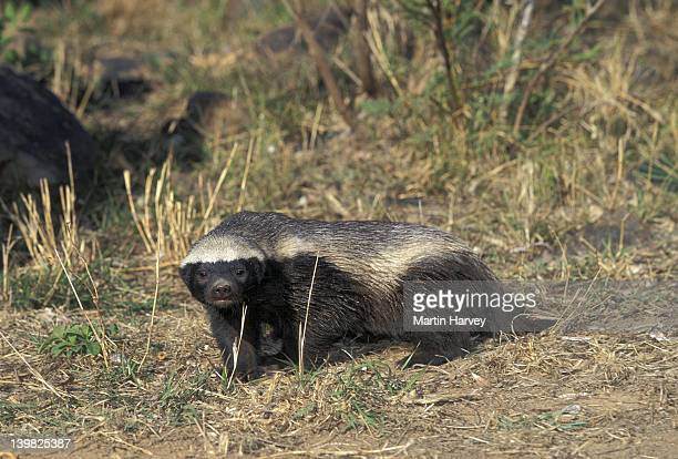 HONEY BADGER: COURAGEOUS AND FEARLESS DESPITE THEIR SMALL SIZE. MELLIVORA CAPENSIS. AFRICA.