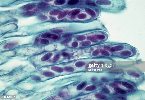morchella (morel) sac fungi, ascomycetes asci & ascospores 250x - ascospore stock photos and pictures