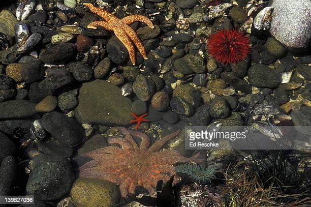 tidepool marine life. sunflower sea star, slender-rayed sea star, red sea urchin & green anemone. olympic np., wa. - tidvattensbassäng bildbanksfoton och bilder