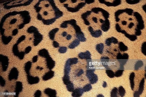 close-up of jaguar pelt. costa rica h - jaguar stock pictures, royalty-free photos & images