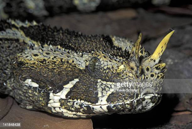 62 Rhinoceros Viper Photos And Premium High Res Pictures Getty Images