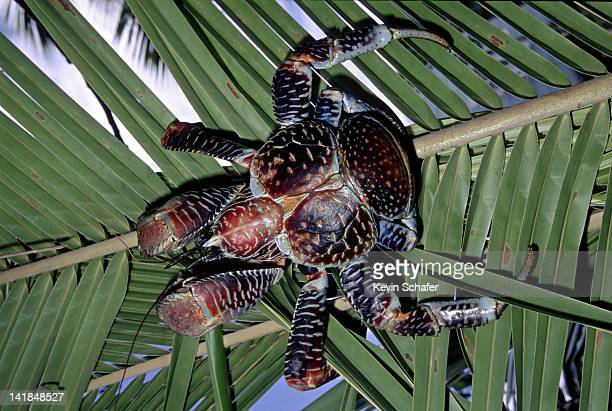 giant coconut crab, birgus latro, in coconut tree. known as unga in polynesia. niue island. south pacific. - coconut crab stock pictures, royalty-free photos & images