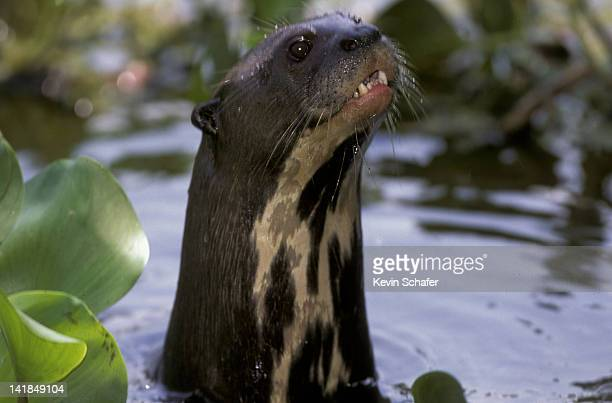 giant river otter. pteronura brasiliensis. pantanal. mato grasso. brazil - giant otter stock pictures, royalty-free photos & images
