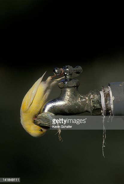 common canary. serinus canaria. drinks at leaky faucet. midway atoll. northwest hawaiian islands. - midway atoll stock pictures, royalty-free photos & images