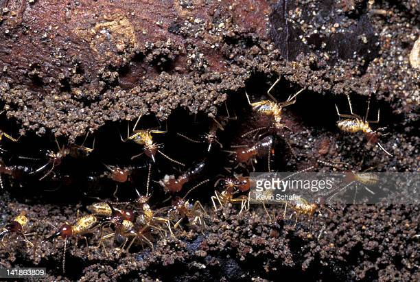 soldier termites guard workers. tortuguero np. costa rica - termite photos et images de collection