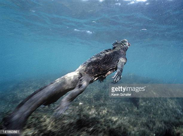 galapagos marine iguana swimming. amblyrhynchus cristatus. fernandina isl, galapagos - marine iguana stock photos and pictures