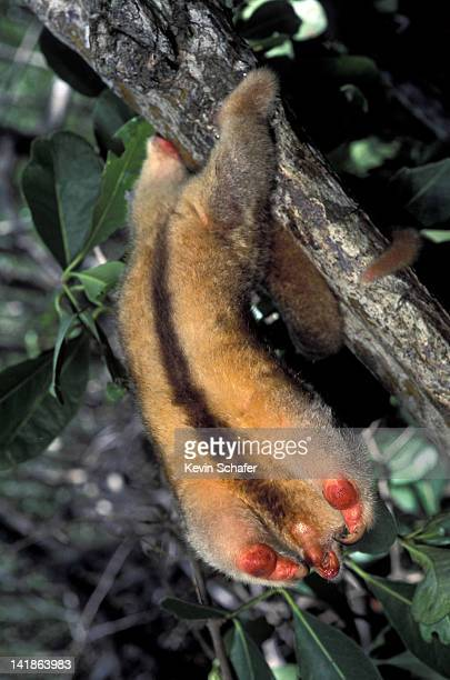 silky anteater (aka pygmy anteater) cyclopes didactylus. defense posture. caroni swamp, trinidad, west indies - silky anteater stock pictures, royalty-free photos & images