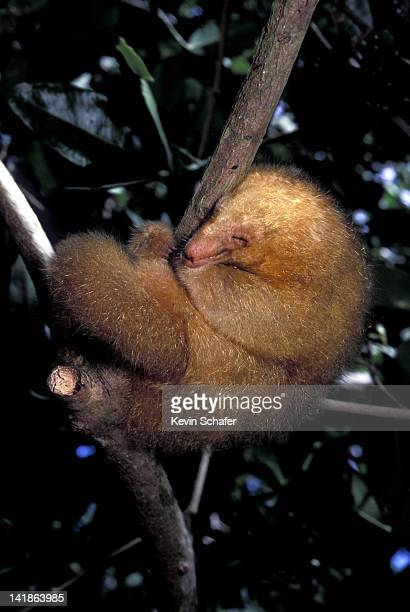 silky anteater (aka pygmy anteater) cyclopes didactylus. sleeping. mangroves, caroni swamp, trinidad, west indies - silky anteater stock pictures, royalty-free photos & images
