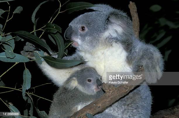 koalas. mother & young. phascolarctos cinereus. blue mountains. new south wales. australia. - marsupial stock pictures, royalty-free photos & images