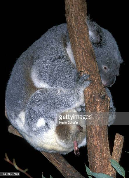 MOTHER KOALA WITH 6 WEEK OLD BABY, VISIBLE IN POUCH. (PHASCOLARCTOS CINEREUS). BLUE MOUNTAINS. NEW SOUTH WALES. AUSTRALIA.