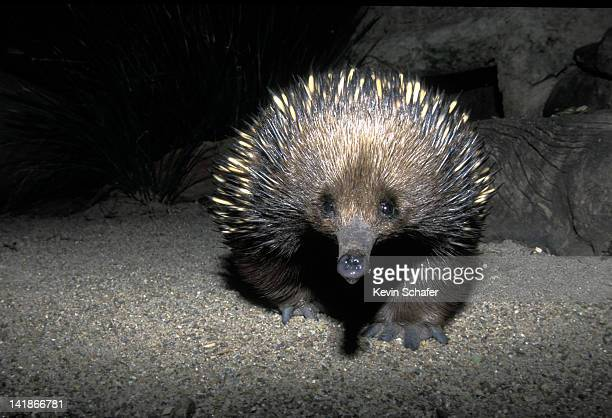 short-beaked echidna. tachyglossus aculeatus. monotreme. (captive). australia. - anteater stock pictures, royalty-free photos & images