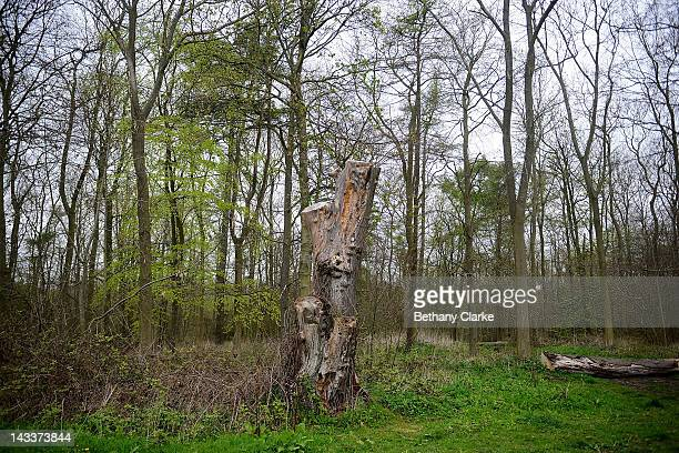 Totem tree and winter timber painted throughout the seasons by Hockney April 25 2012 in the Yorkshire Wolds United Kingdom David Hockney painted...