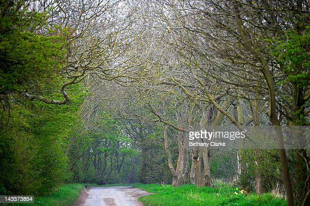 Tunnel of trees line Woldgate on April 25 2012 in the Yorkshire Wolds United Kingdom David Hockney painted landscapes along this route in the Wolds...