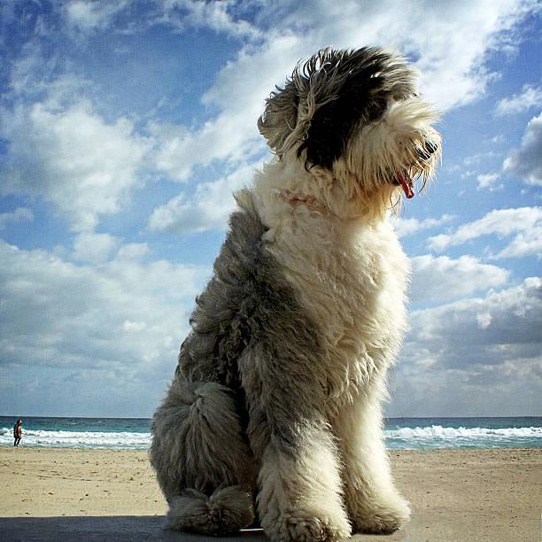 GULLIVER, THE GIANT DOG