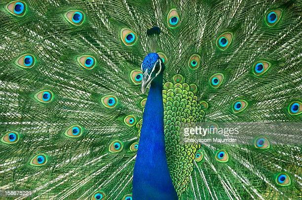 dancing to the tunes - peacock stock pictures, royalty-free photos & images