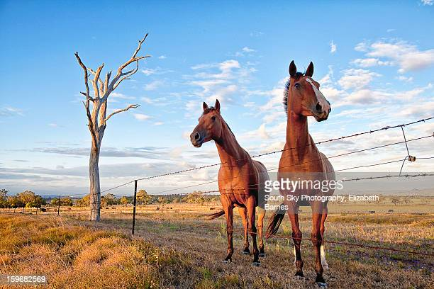 HORSES OVER FENCE