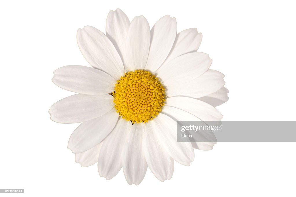 white daisy, spring time flower beauty in nature : Stock Photo