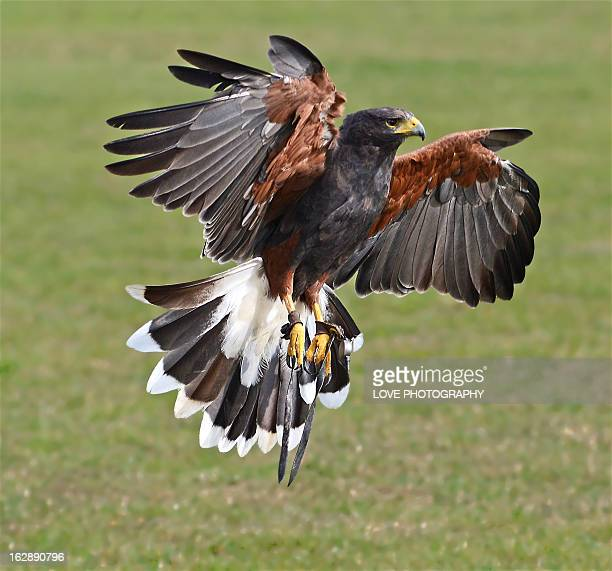 emergency stop ! - harris hawk stock photos and pictures