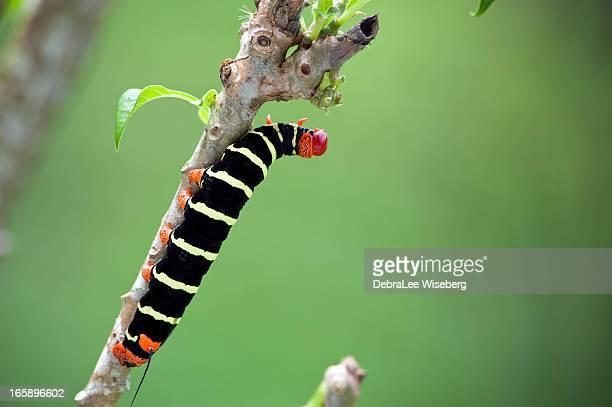 ジャイアントの幼虫