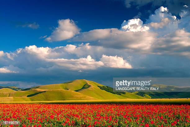 marea rossa - oriental poppy stock pictures, royalty-free photos & images