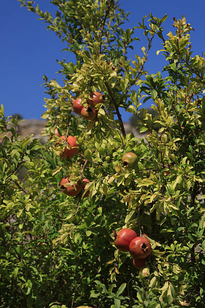 fruit on tree - pomegranate tree stock photos and pictures