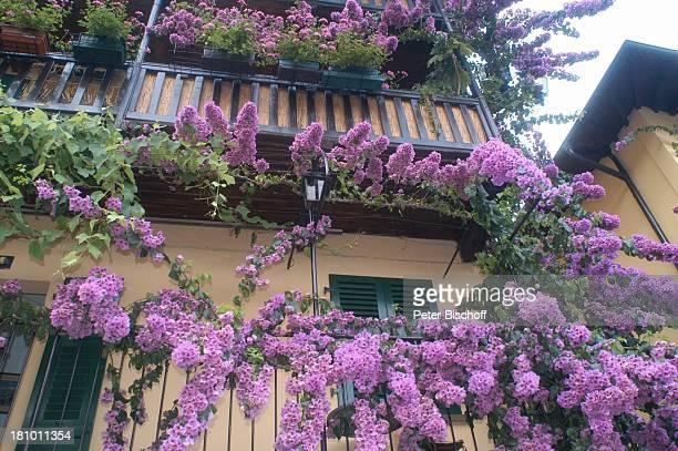 Limone sul Garda Gardasee Reise Italien/Europa Blumen Pflanzen Bougainville