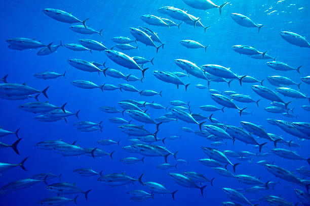 ATLANTIC BLUEFIN TUNA Wall Art