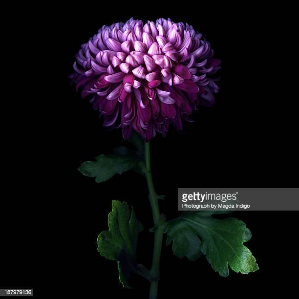 DEEP PURPLE... CHRYSANTHEMUM.