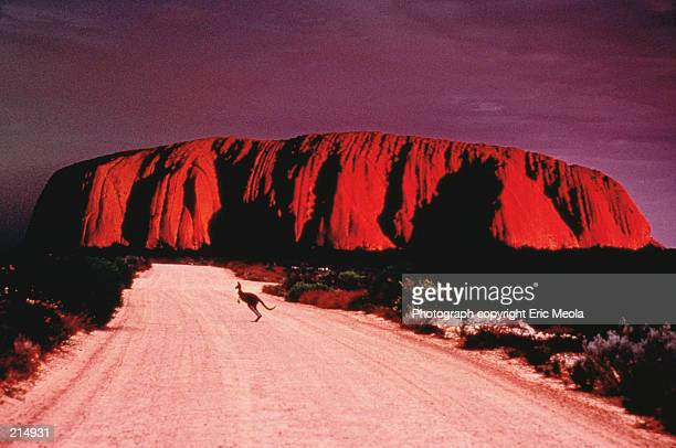 KANGAROO ON ROAD TO ULURU ROCK IN AUSTRALIA
