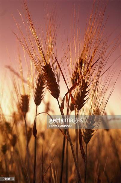 DETAIL VIEW OF WHEAT