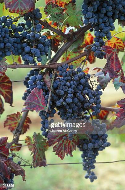 PURPLE GRAPES ON VINE IN ITALY
