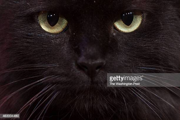 A close up of Moose one of the two cat stars appearing in The Lieutenant of Inishmore during a dress rehearsal on February 1 2015 in Washington DC...