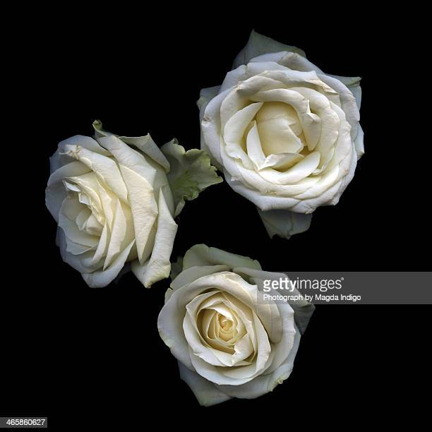 FLORIOGRAPHY...WHITE ROSES...