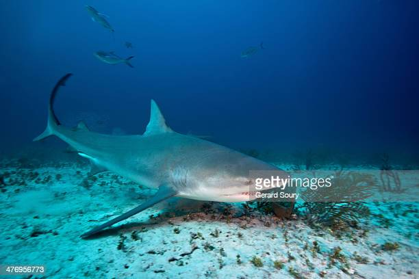 bull shark - bull shark stock pictures, royalty-free photos & images