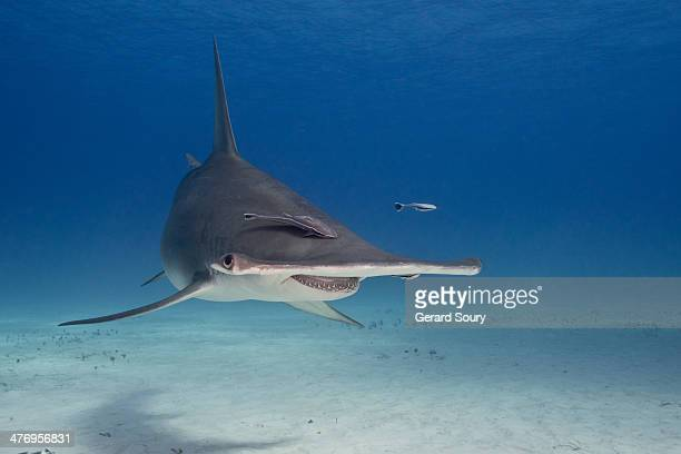 great hammerhead shark - hammerhead shark stock pictures, royalty-free photos & images