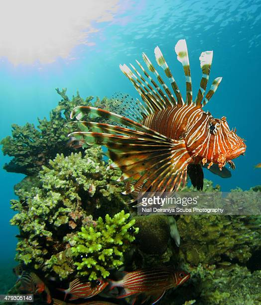 lionfish by mid day light - squirrel fish 個照片及圖片檔