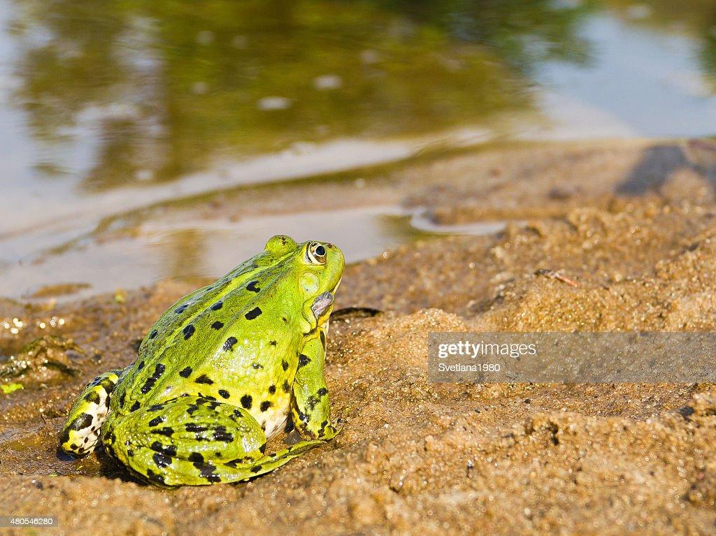 Лягушка. : Stock Photo