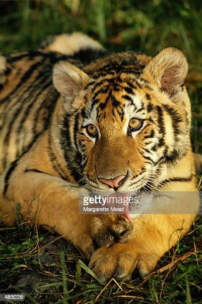 SIBERIAN TIGER LICKING PAW