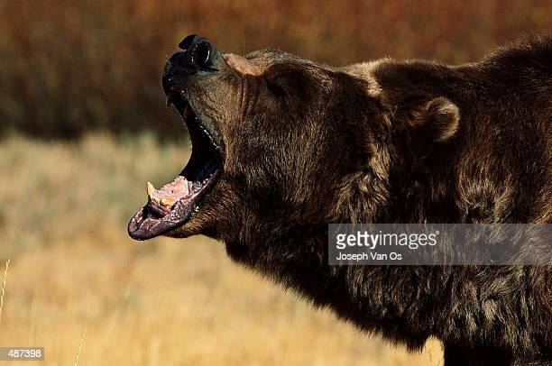 BROWN BEAR WITH MOUTH AGAPE