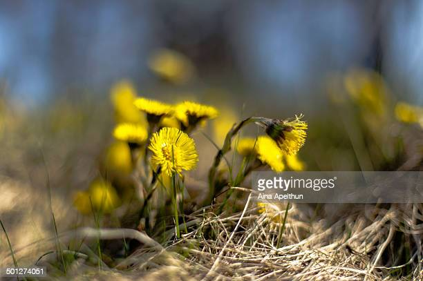 coltsfeet - coltsfoot stock photos and pictures